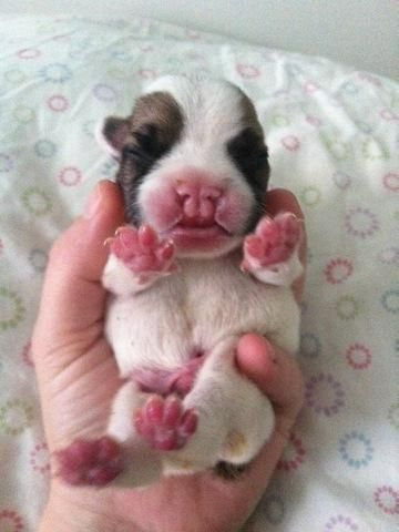 Free Pug Puppies For Adoption Male And Female English Bulldog Puppies For Free Adoption Pictu English Bulldog Puppies Free Pug Puppies Bulldog Puppies