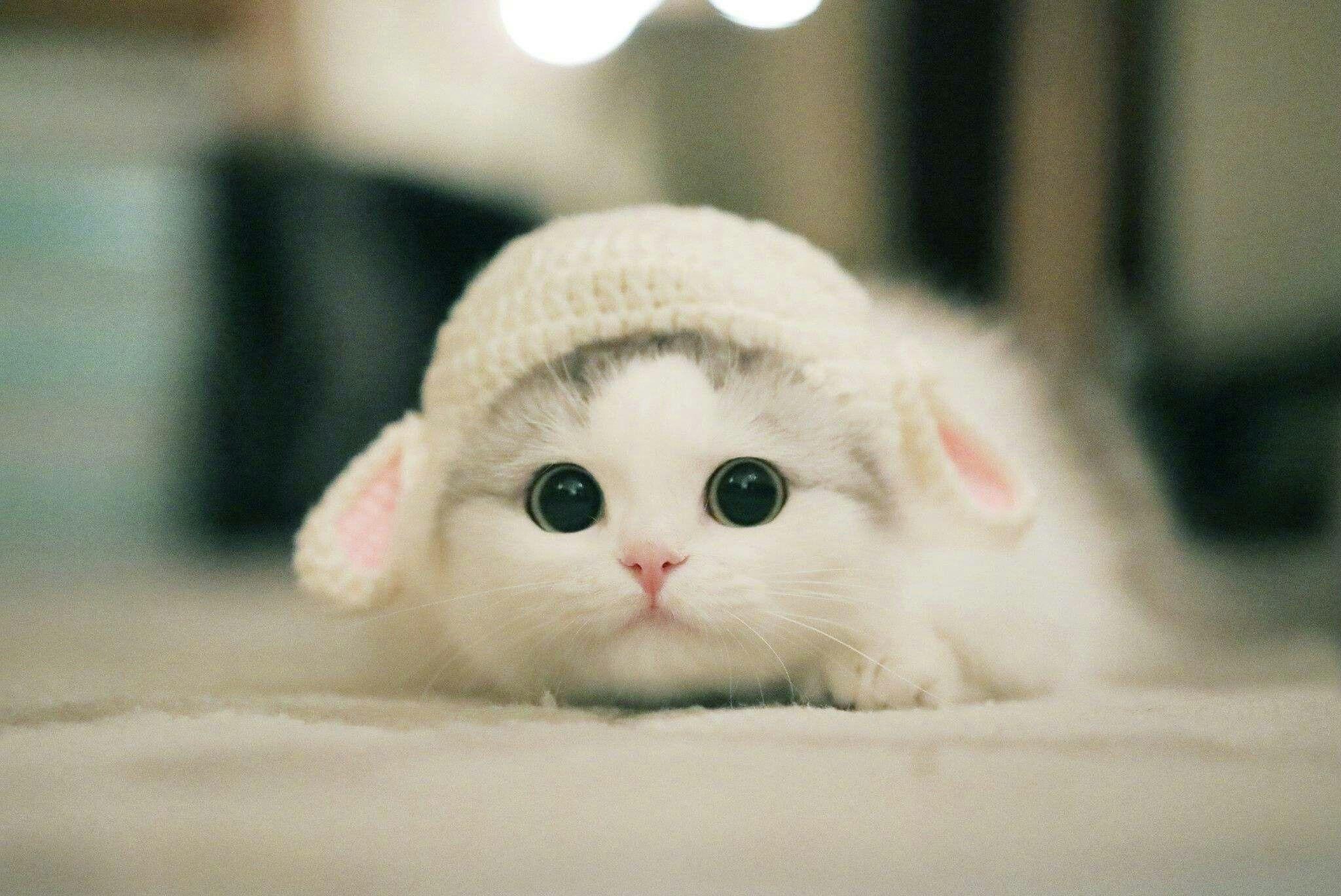 Little Lamb động Vật Meo đẹp Meo Kitty