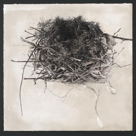 """'Nest' Charcoal and Watercolour 18"""" X 18"""" approx. ©Sarah Gillespie"""
