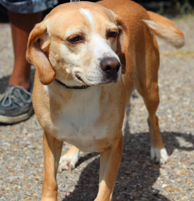 Adopt Lucy On Beagle Mix Dogs Pets
