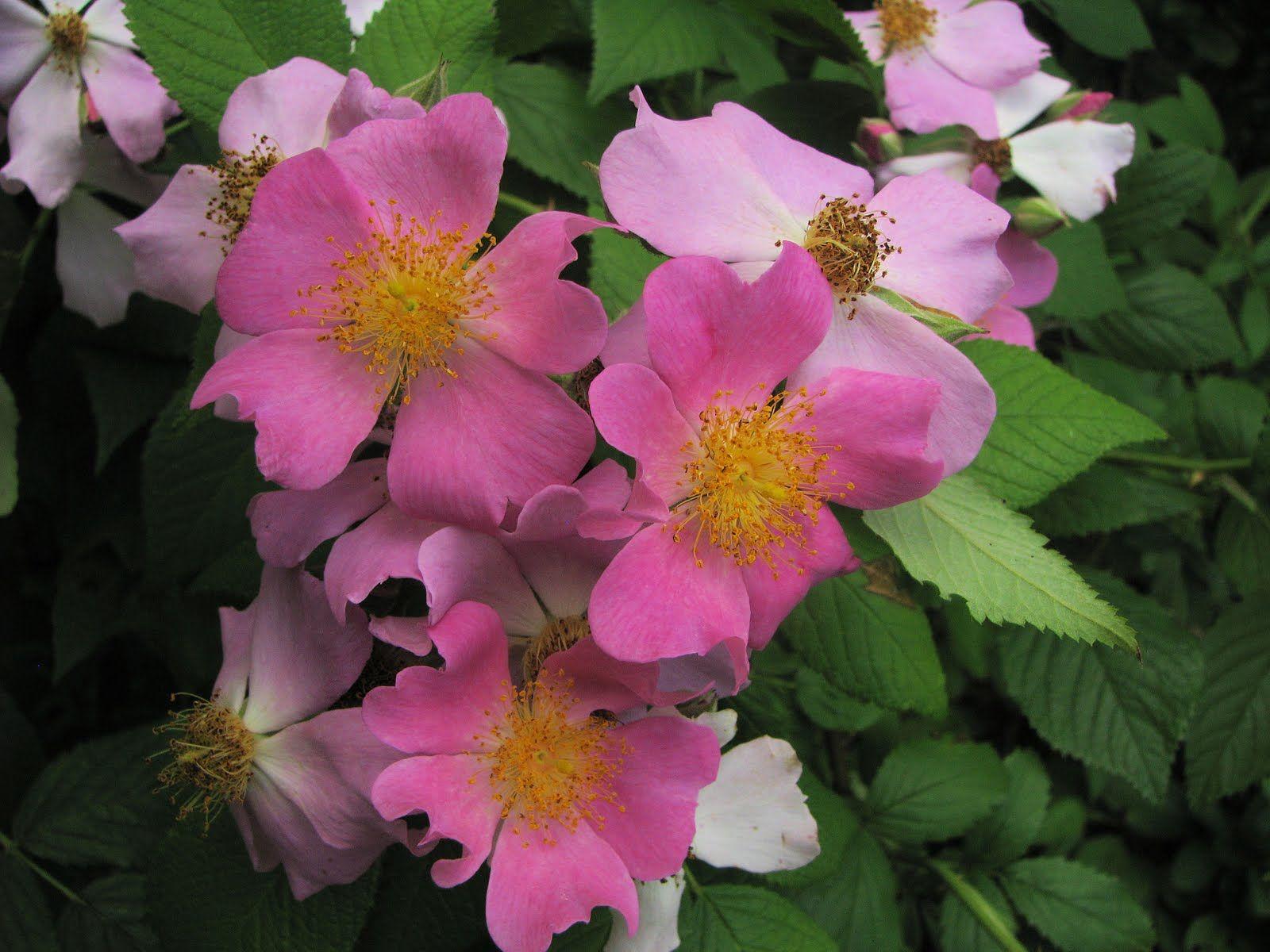 North Dakota state flower Wild Prairie Rose