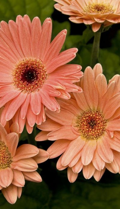 How To Grow Gerbera Daisy Outdoors Pretty Flowers Gerbera Daisy Daisy Flower