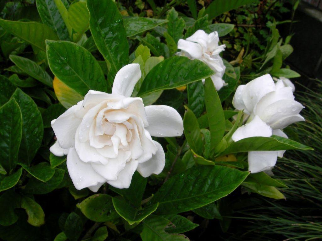 Gardenia Essential Oil Potential Benefits And Uses White Gardenia Jasmine Plant Inside Plants