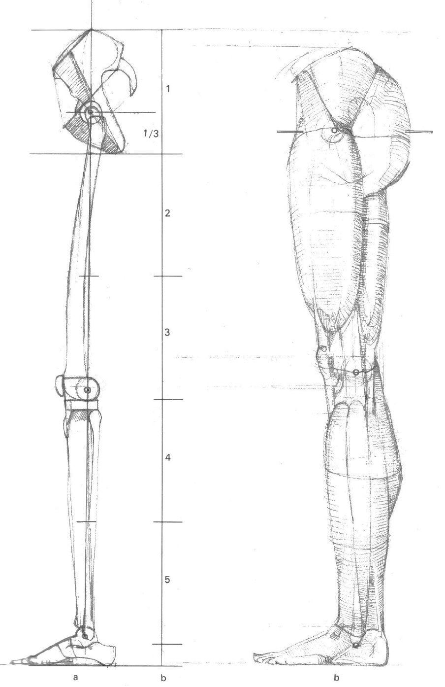 Gottfried Bammes - Die Gestalt Des Menschen - Anatomy & Visual Arts ...