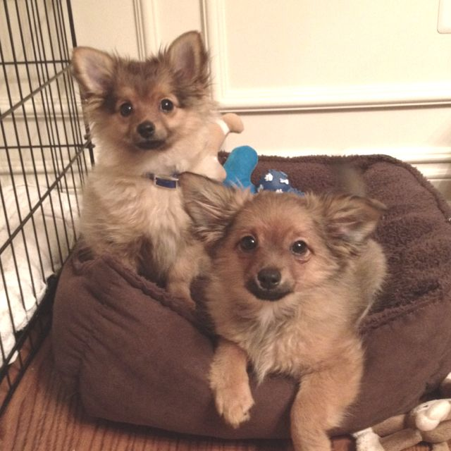 Noodles And Cappuccino Chiweenie Pomeranian Mix Cute Dogs