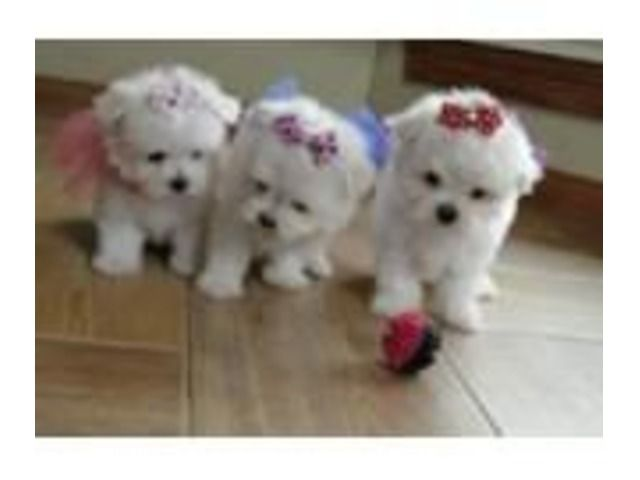 Pin By Lauren Taylor On Maltese Puppy S Maltese Puppies For Sale Puppies For Sale Puppies