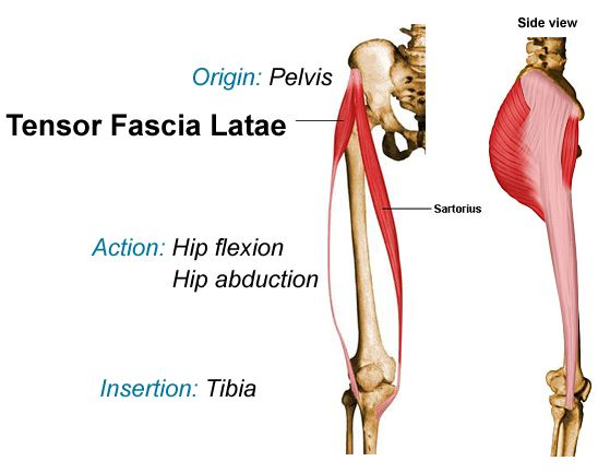 tensor fasciae latae and sartorius; lateral view shown on right ...
