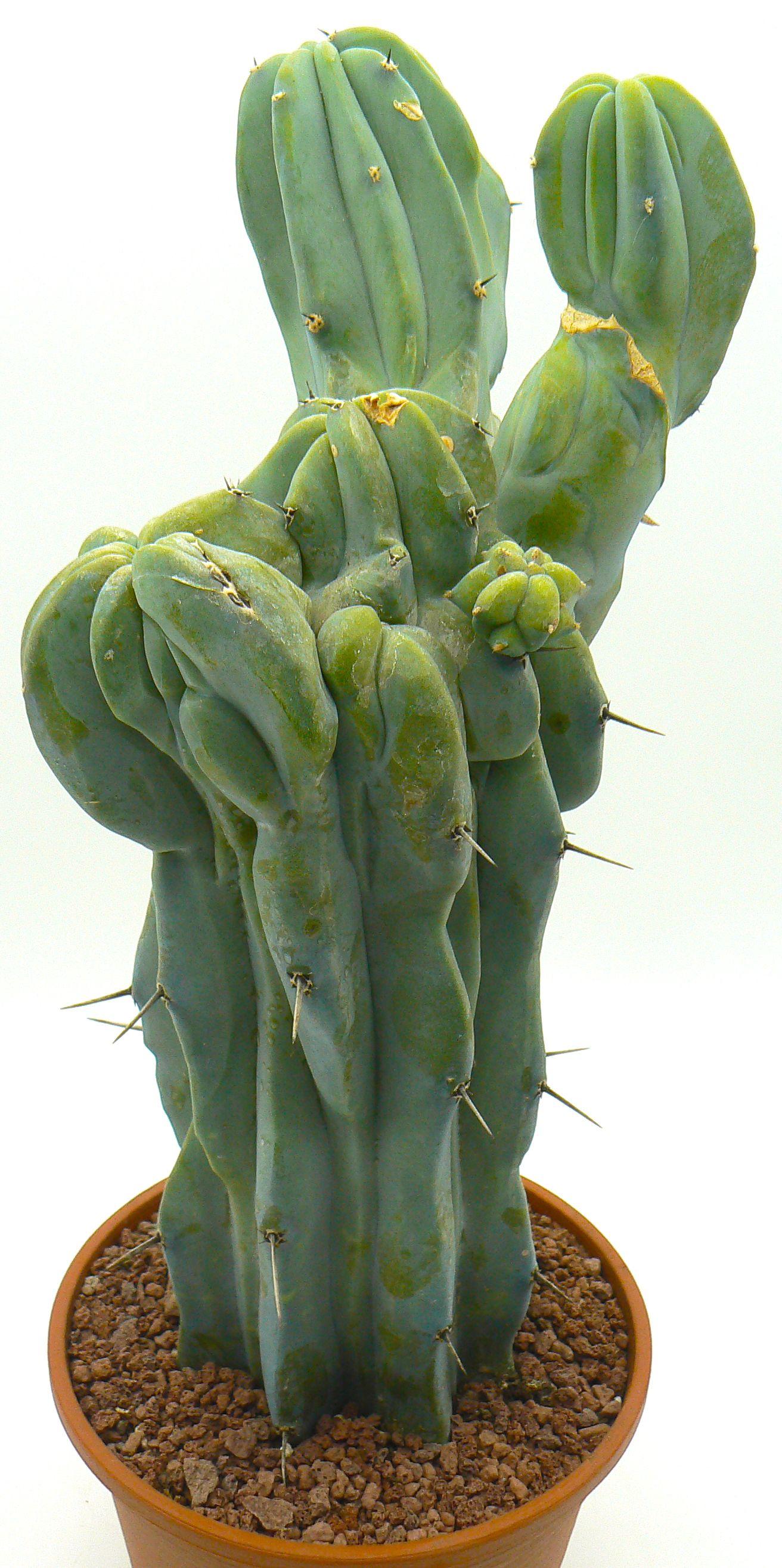 Myrtillocactus Geometrizans Crestato Ri Pianta Da Collezione Su