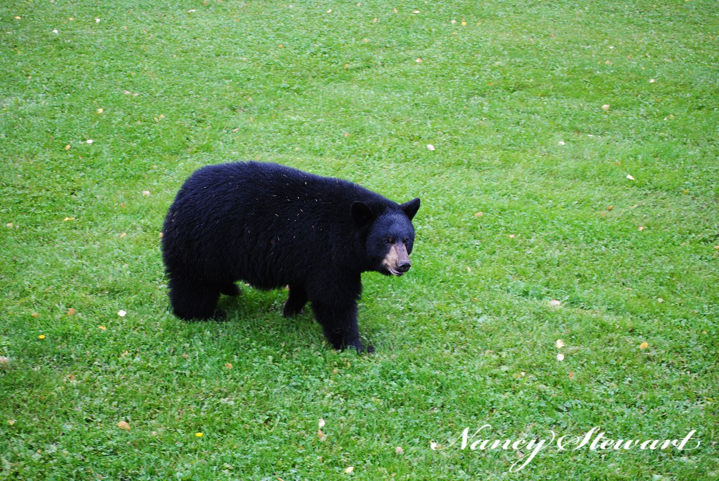 Black bear strolled through my yard. (With images)   Black ...