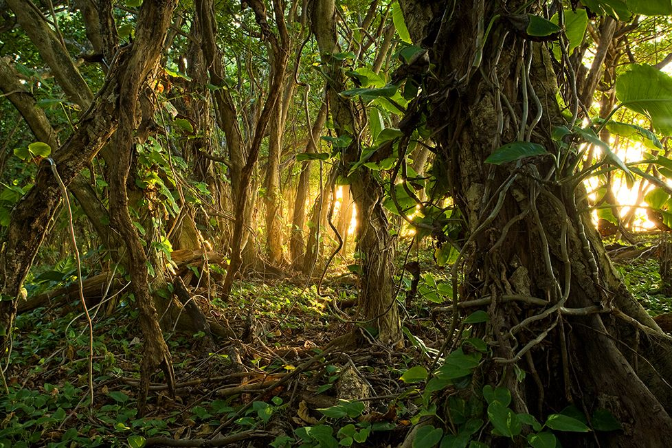 Warm Radiant Light Filters Through The Jungle In Kauai In This Awe