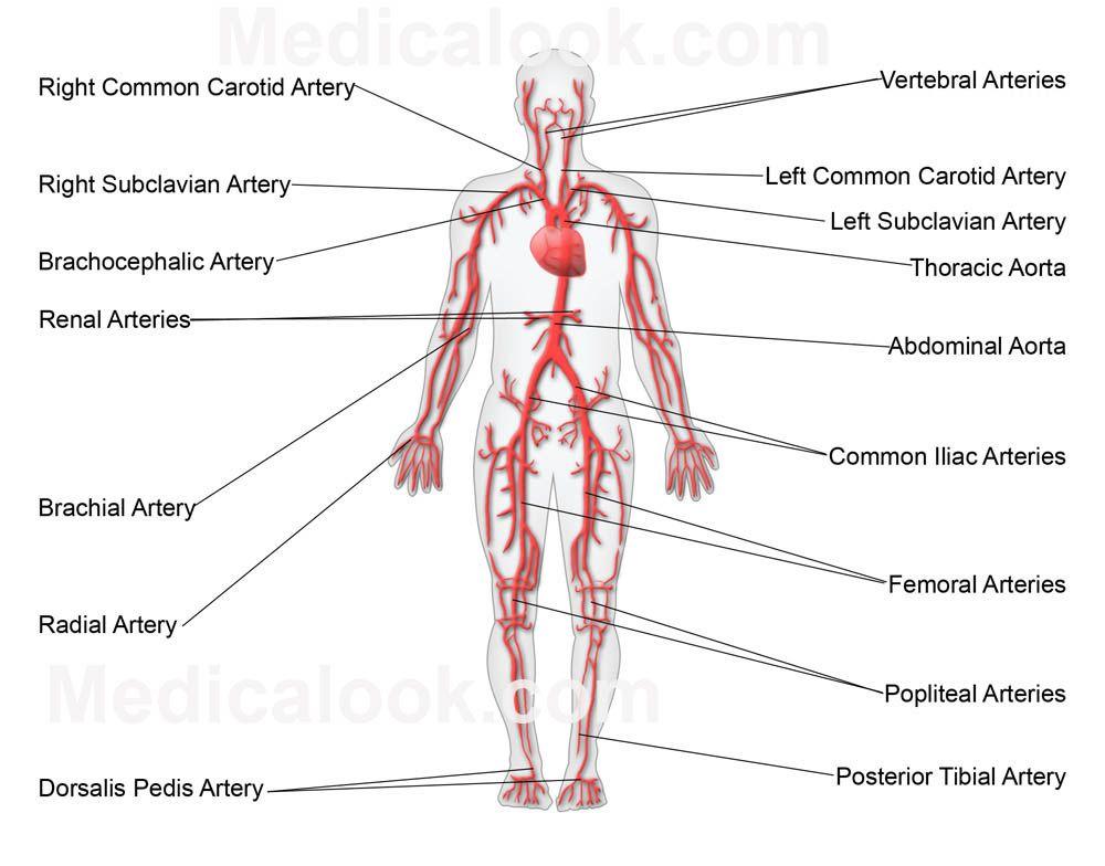 Free Diagrams Human Body | Diagram Main Arteries Human