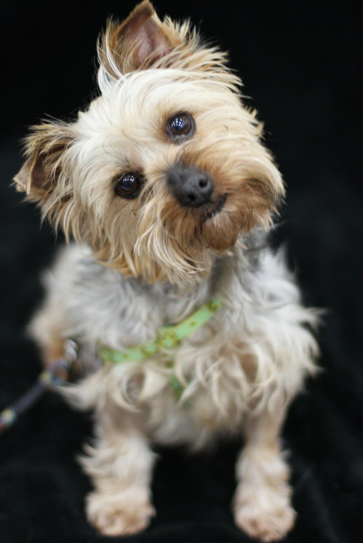 GayWeHo Dogs 4 U 🐶 on Yorkie yorkshire terrier