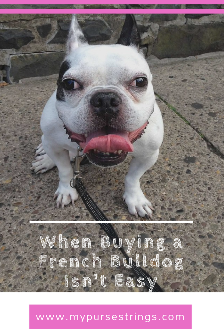 When Buying a French Bulldog Isn't So Easy French