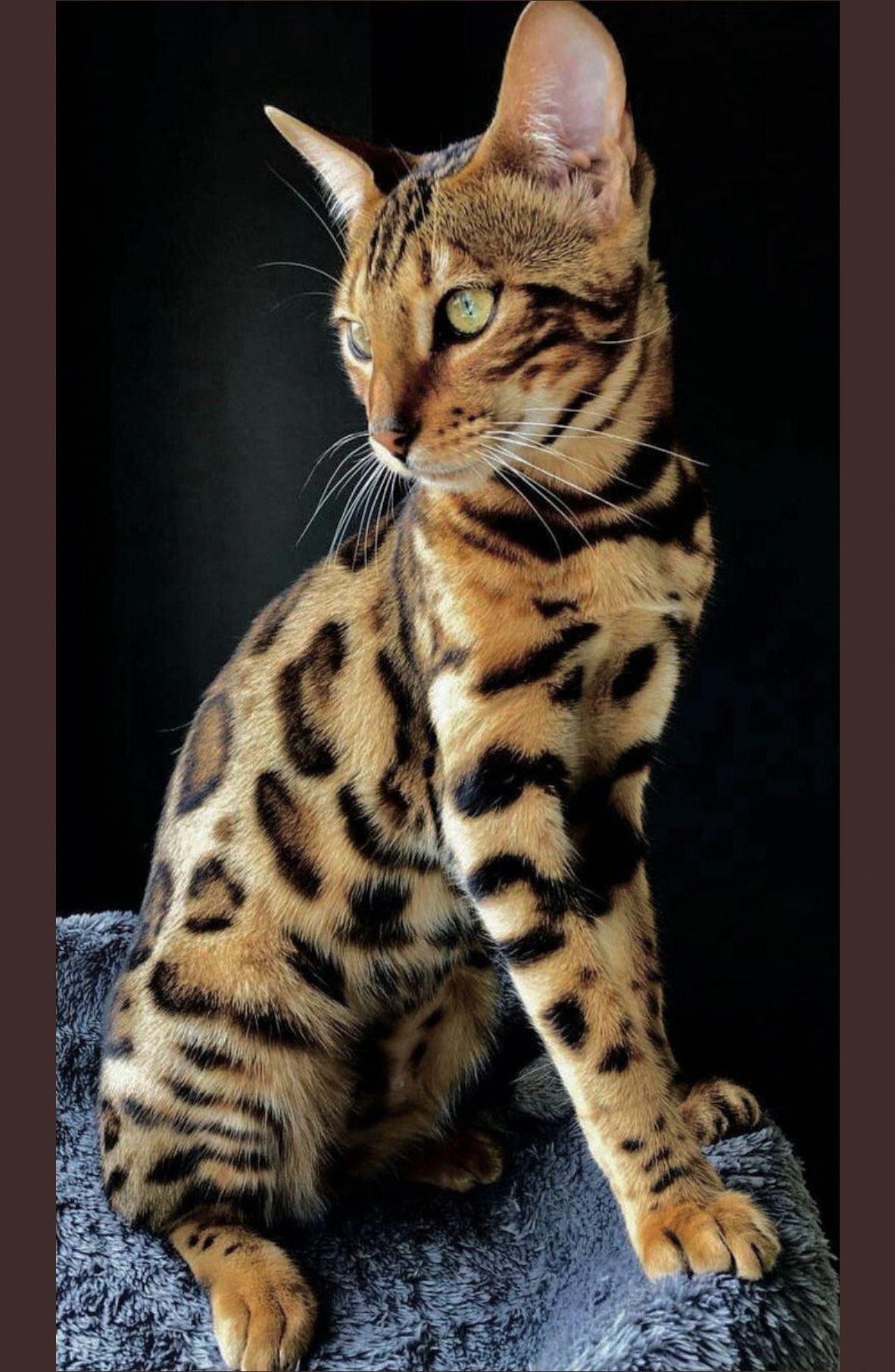 Beautiful Bengal Kitten Sometimes So Closely Bred The Leopard Cat That Possession Of Them Is Outlawed In Many States Gorgeous Cats Pretty Cats Beautiful Cats