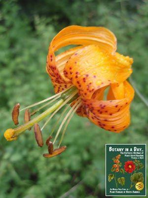 TIGER LILY LILIUM COLUMBIANUM | Lilium columbianum. Columbia Tiger Lily.
