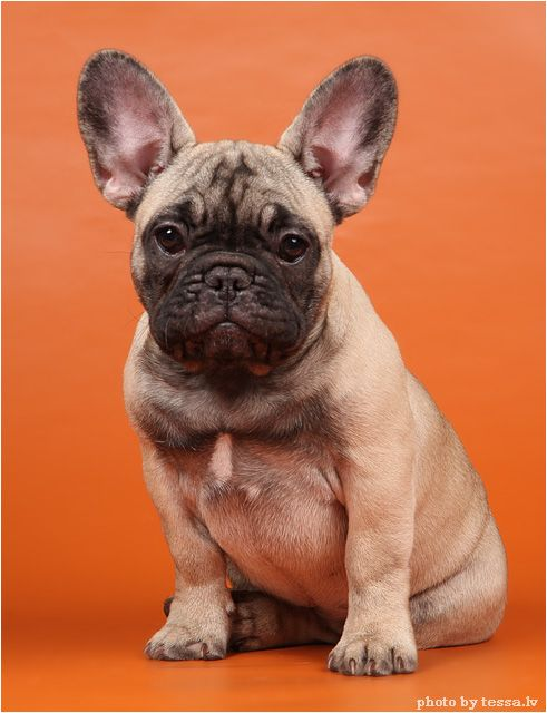 Pin By Stephanie Thomas On Frenchies French Bulldog Dogs