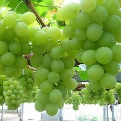 Weintrauben.