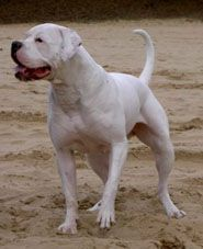 Spartan Dogs Find The Boxer American Bulldog American Bulldog Scott Bulldog Breeds
