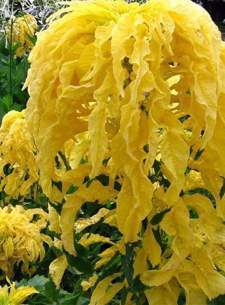 Amaranthus tricolor Aurora- Yellow Joseph's Coat / Summer ...