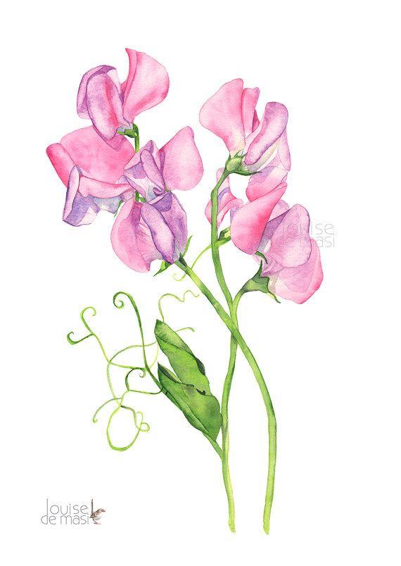 Sweet Pea Flowers Drawing Simple
