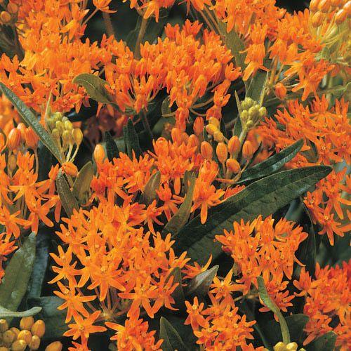 Orange Glory Flower Butterfly Plants Asclepias Tuberosa Sun Perennials