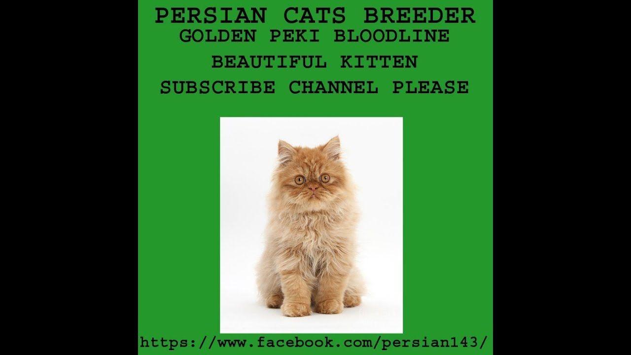 Golden Peki Bloodline Beautiful Kitten Must Watch Persian Cat Breeders Beautiful Kittens Kitten