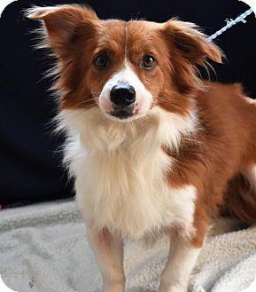 Sterling Ma Welsh Corgi Mix Meet Avail 2 14 Pen 10 Corgi Mix Male A Dog For Adoption Http Www Adoptapet Com Pet 1756177 Welsh Corgi Mix Corgi Corgi Mix