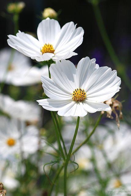 White Cosmos Cosmos Bipinnatus Amazing Flowers Cosmos Flowers Flowers Photography