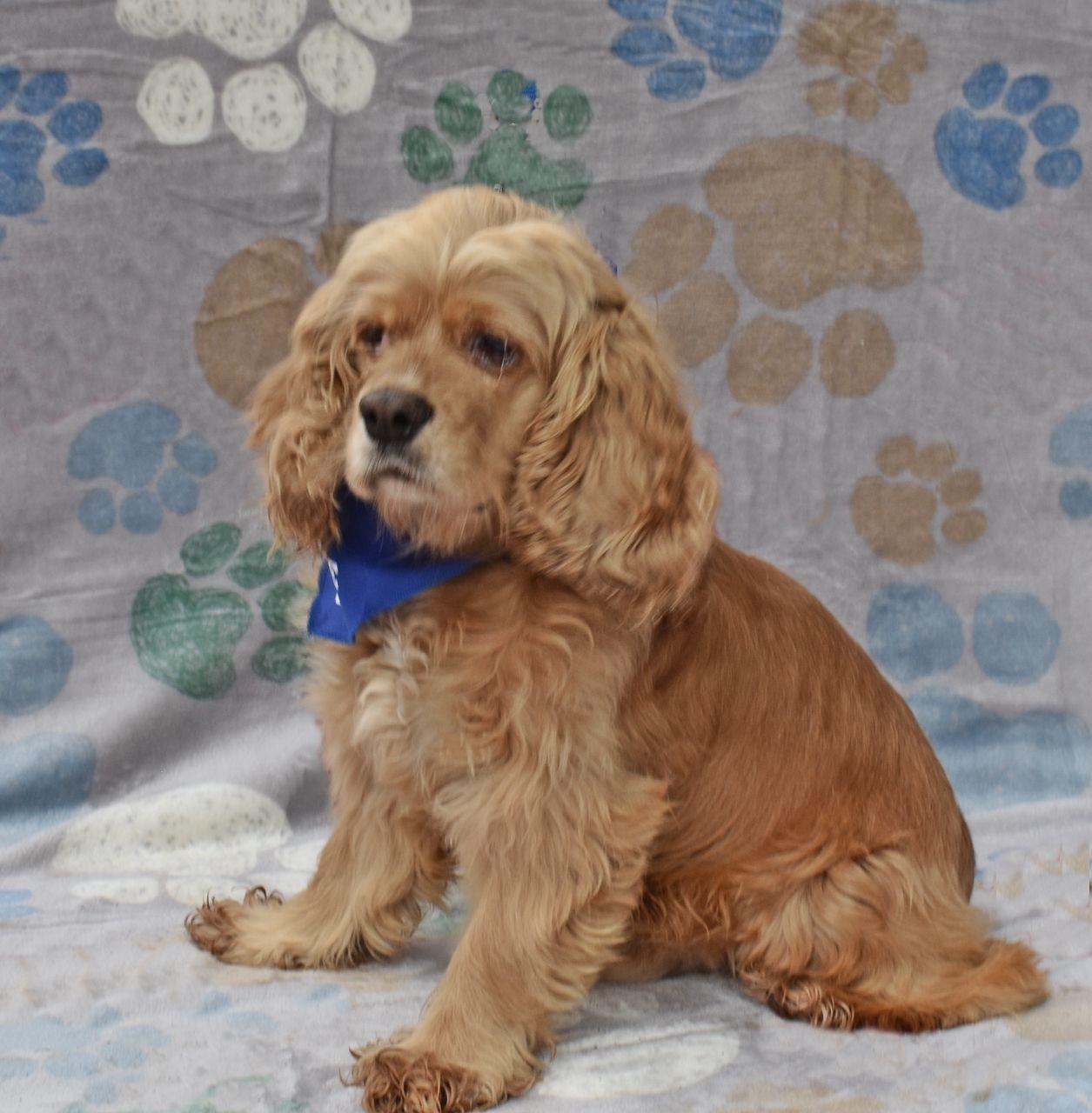 Adopt Prince On Cocker Spaniel Cocker Spaniel Dog Dogs