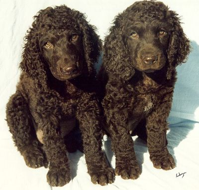 Irish Water Spaniel Pups First time on the board. Yay! for