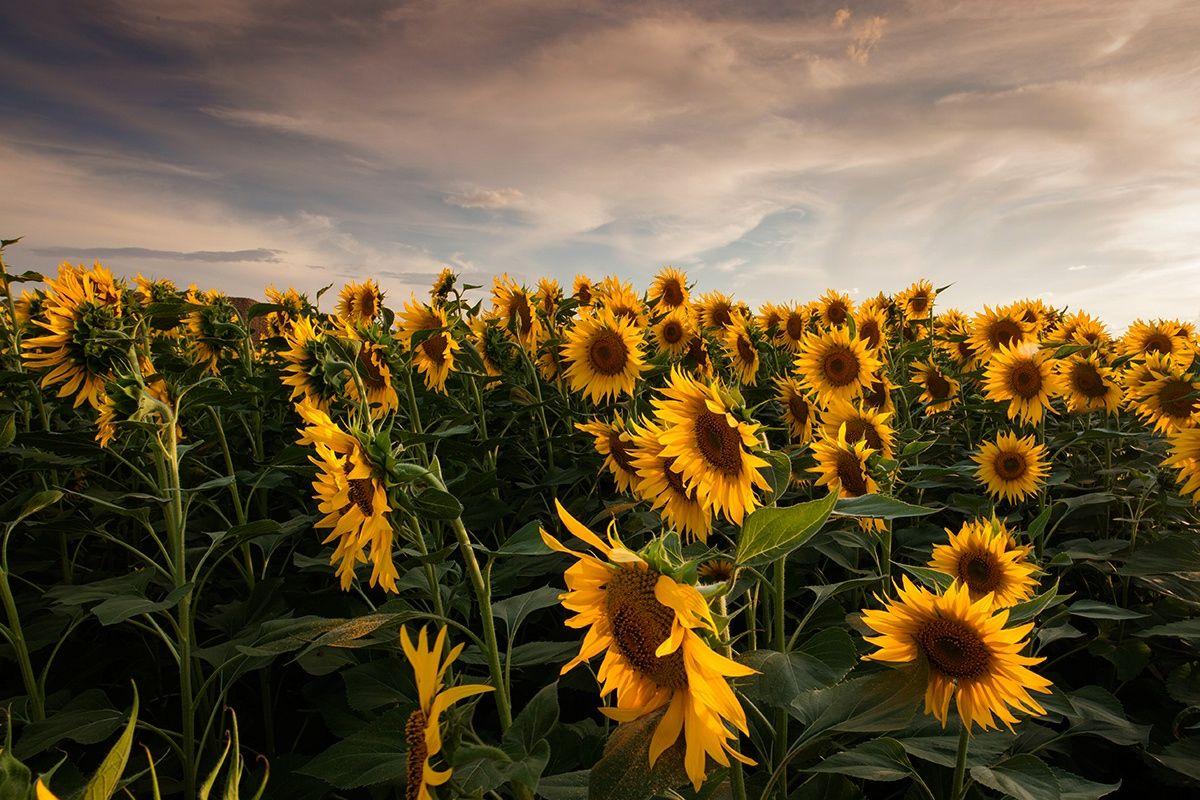Fotograf Campo De Girasoles / Field Of Sunflowers Von