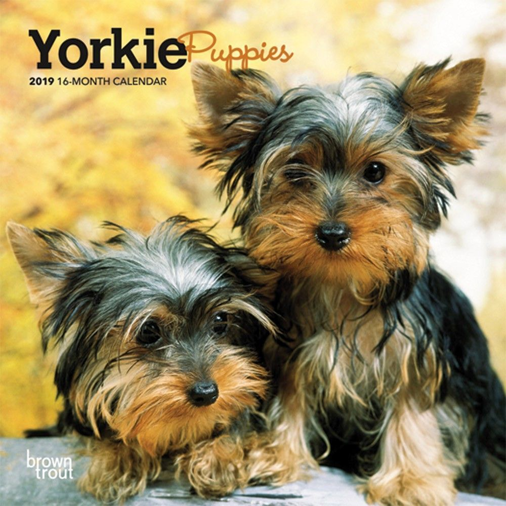 Yorkie Puppies 2019 7 X 7 Inch Monthly Mini Wall Calendar Animals