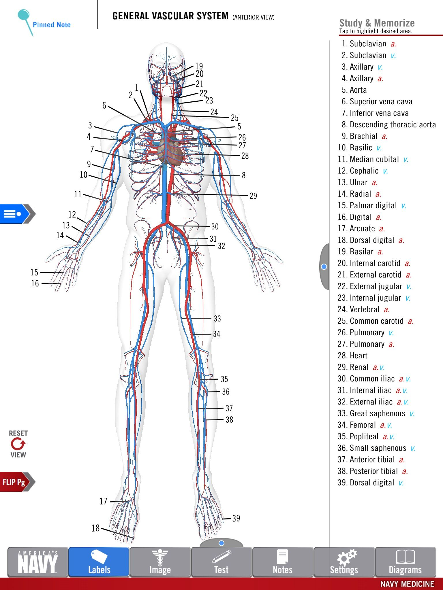 hight resolution of diagram of the general vascular system from the free anatomy study guide app by america s navy includes high res 3 d diagrams