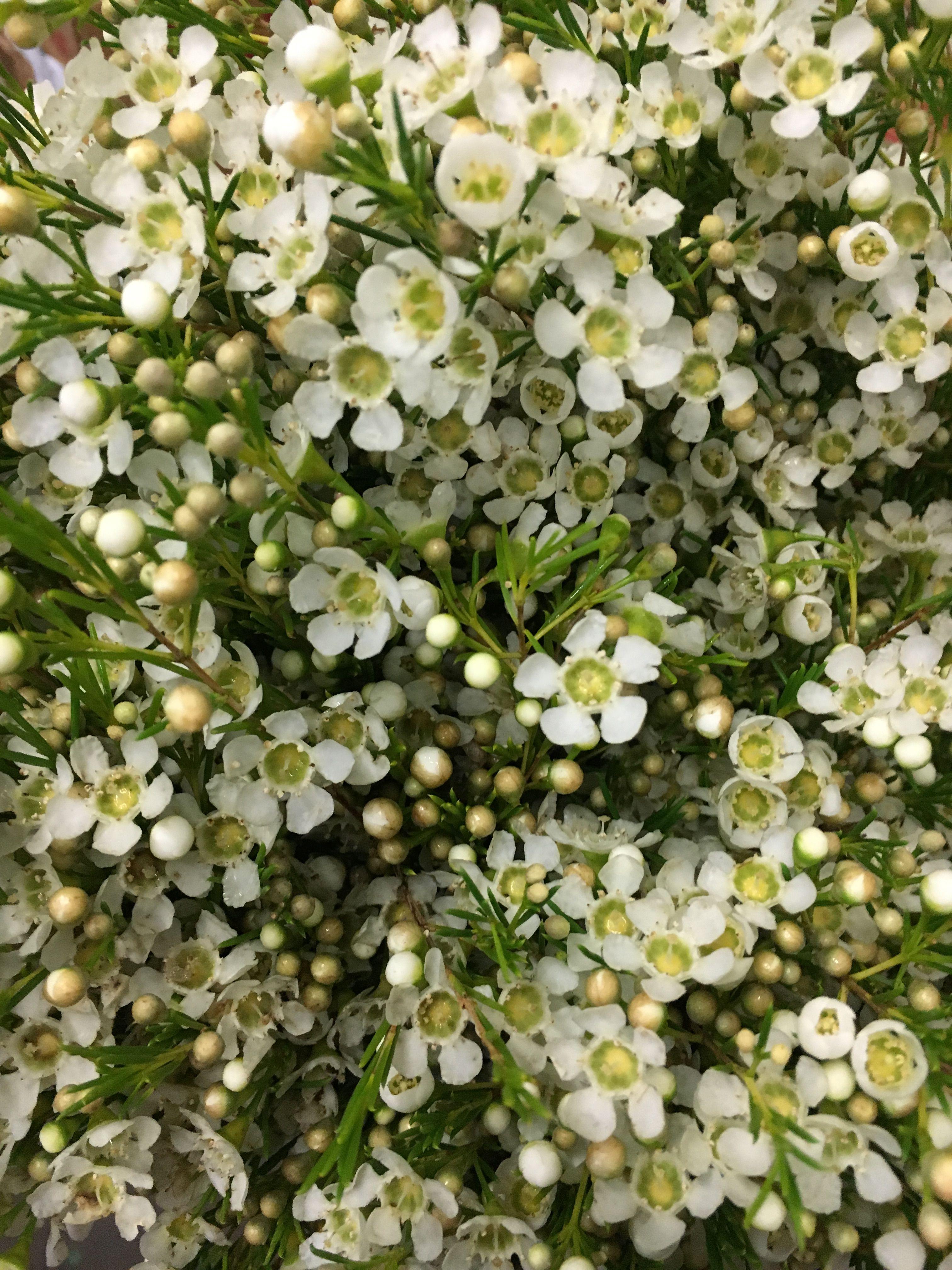 Great white wax flower gallery wedding and flowers ispiration alba white wax flower white flowers pinterest wax flowers mightylinksfo Choice Image
