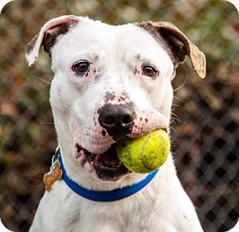 Pictures of Sweet Pea a American Bulldog Mix for adoption