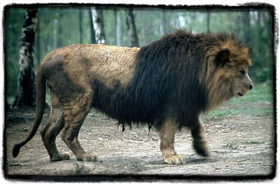 The size of the Barbary lion | nature | Pinterest | Lions ...