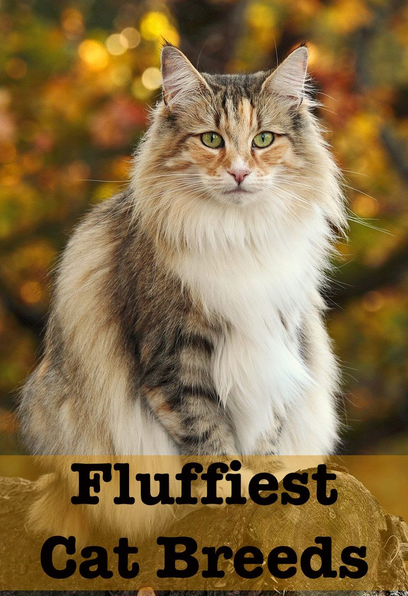 Fluffy Cat Breeds Discover The Fluffiest Kitties Around