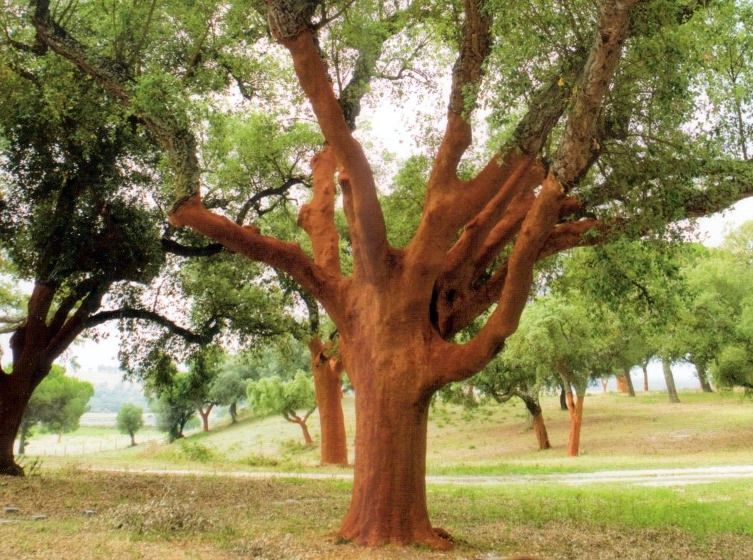 Cork Oak tree known botanically QUERCUS SUBER. Cork tree