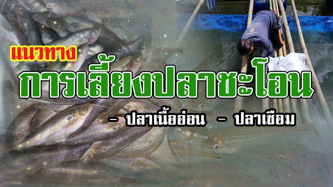 แนวทางการเล ยงปลาชะโอน ปลาเซ อม ปลาเน ออ อน Youtube กบ