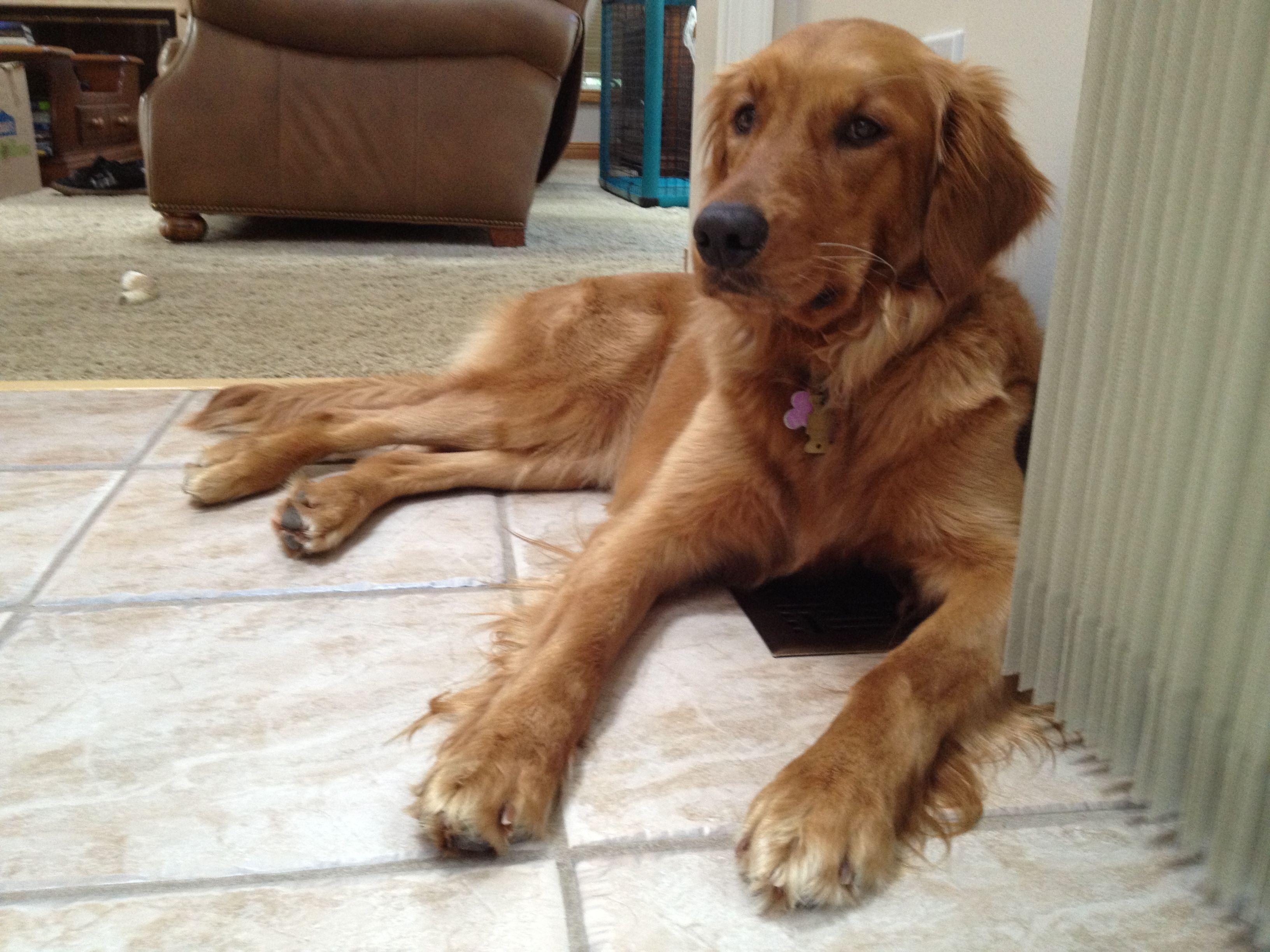 Golden Retriever Maggie All Grown Up Cute Labrador Puppies