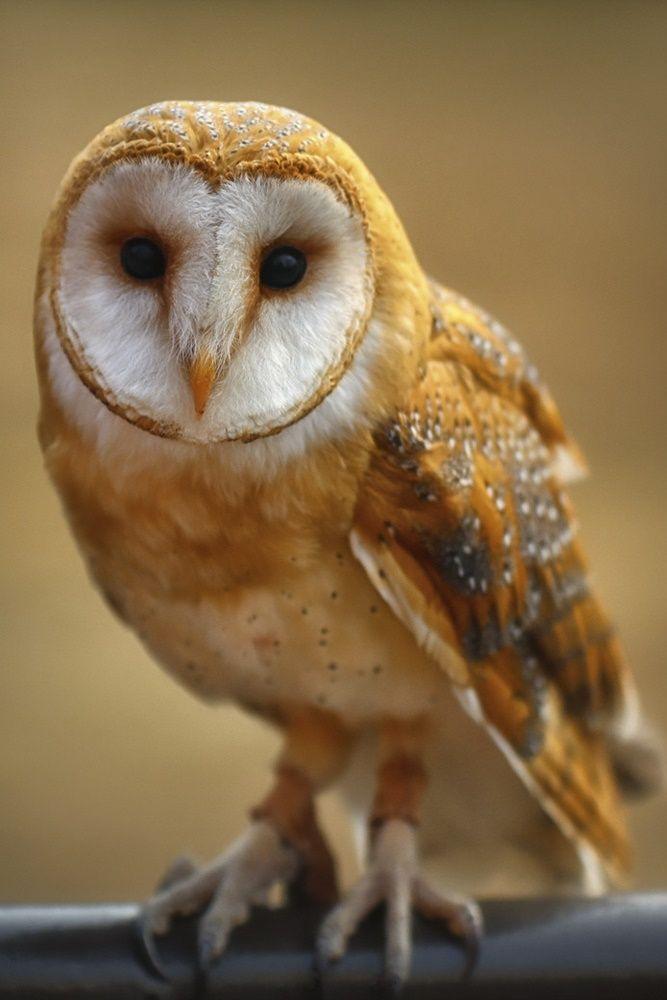 owl Barn owl, Owl photography, Owl