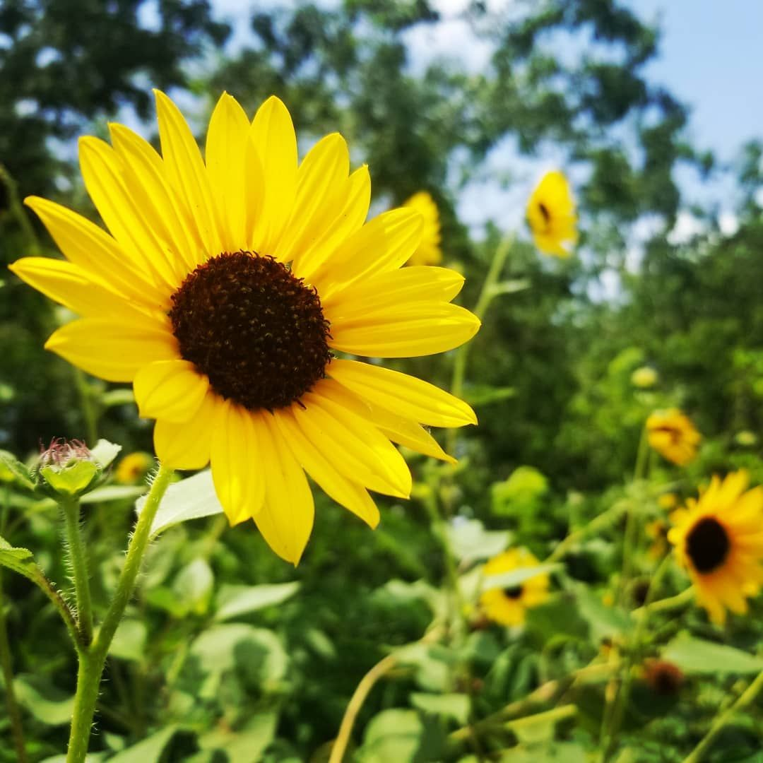 Sun Flowers Viewtiful Photosynthesis Photography Aesthetic Art Pictureoftheday L Perspective Perception Sund Photosynthesis Plants Flowers