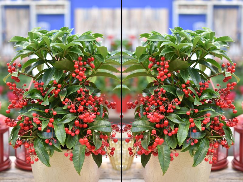zimmerpflanze rote beeren ostseesuche com. Black Bedroom Furniture Sets. Home Design Ideas