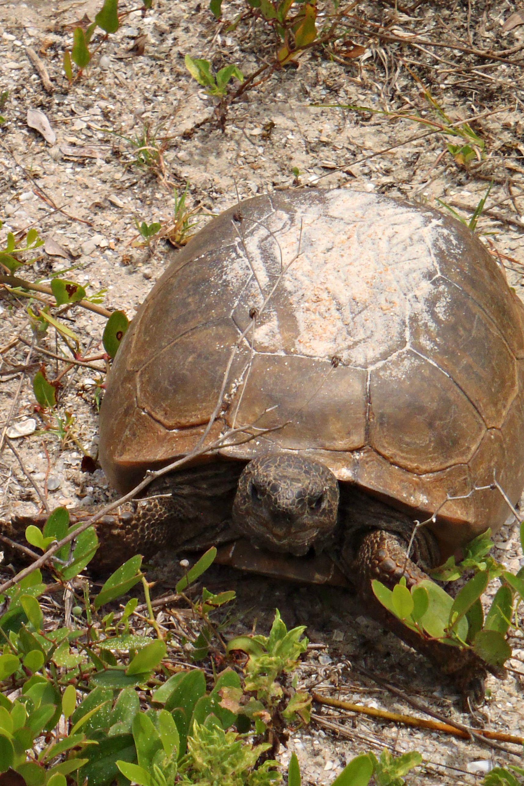 Gopher tortoise. New Smyrna Beach, FL Gopher Tortoises