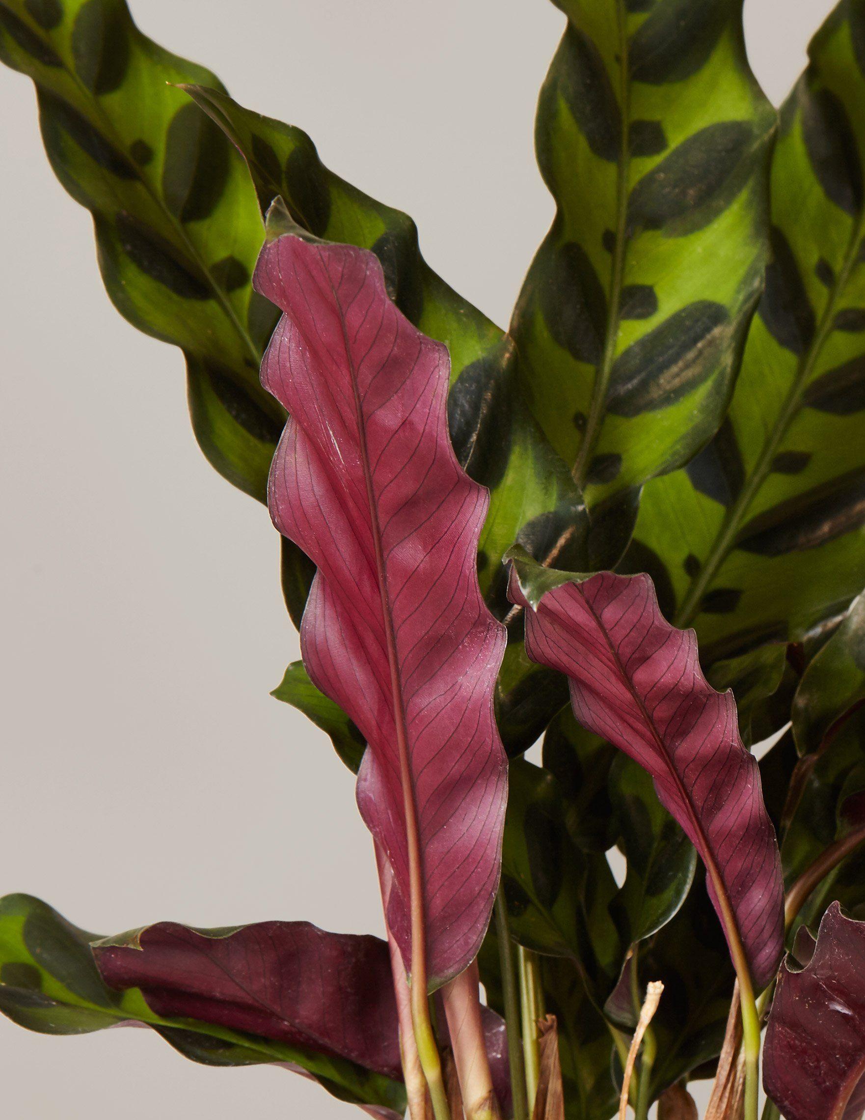 Calathea Rattlesnake | Plants, Unusual plants, Calathea on purple leaf plants with leaf, purple leaf shrub with pink flowers, hydrangea with purple leaves,