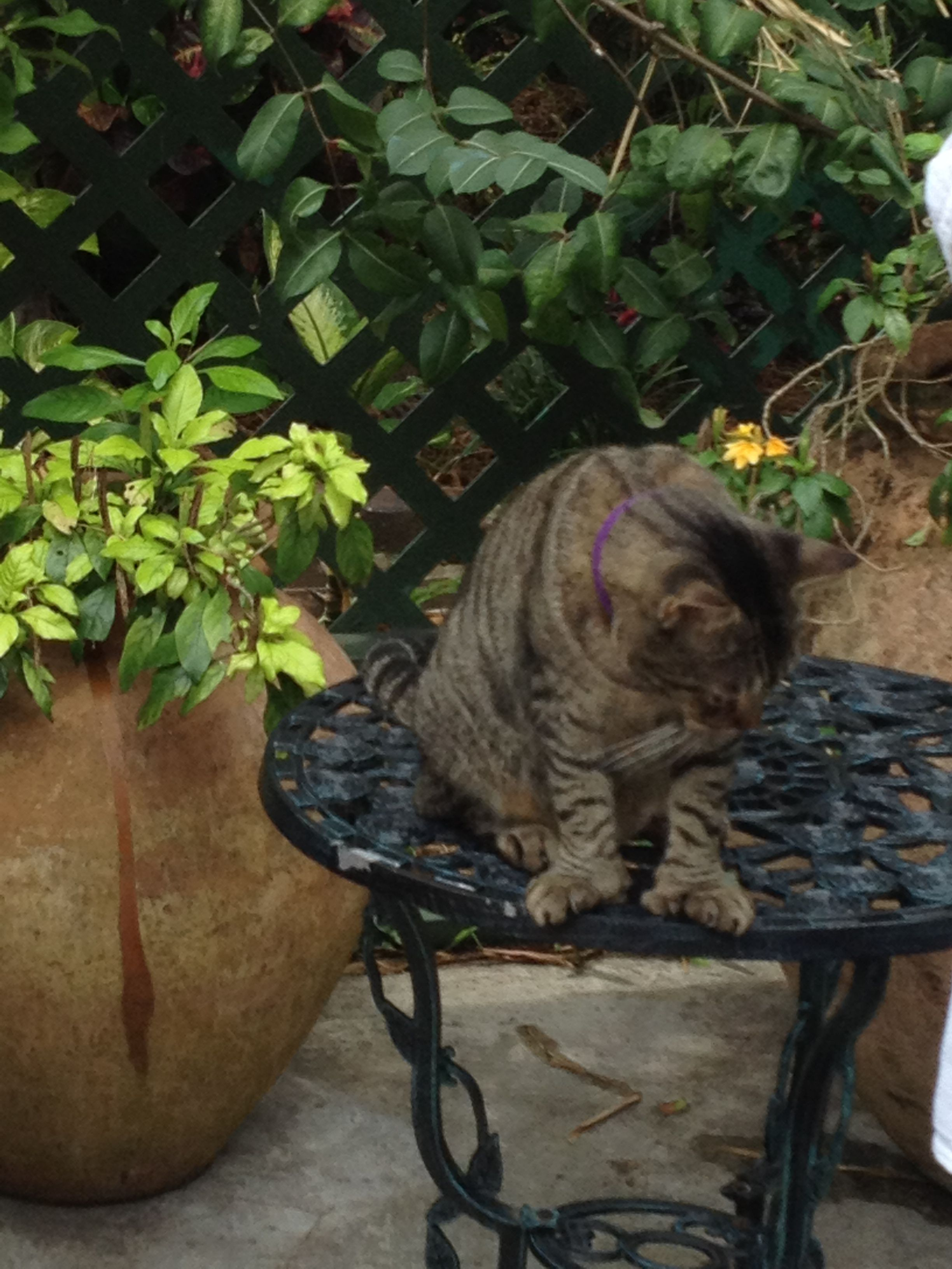 6 toe cats at Hemingway House in Key West