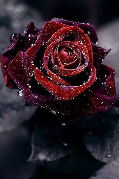 Red rose with water drops roses blaue rosen blumen for Hintergrund bilder rosen