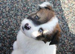 Hund, Welpe, Haustier, Tier, Niedlich, Weiss