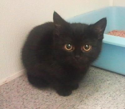 this wee kitty is up for adoption at Sheffield RSPCA. go