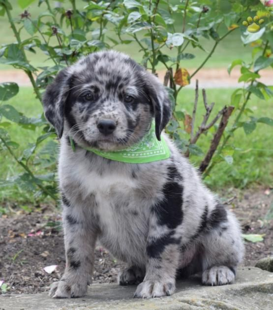 Pepper Australian Shepherd Mix Puppy For Sale In Baltic Oh